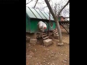 Gallina de raza Brahma, una de las más grandes que se han visto