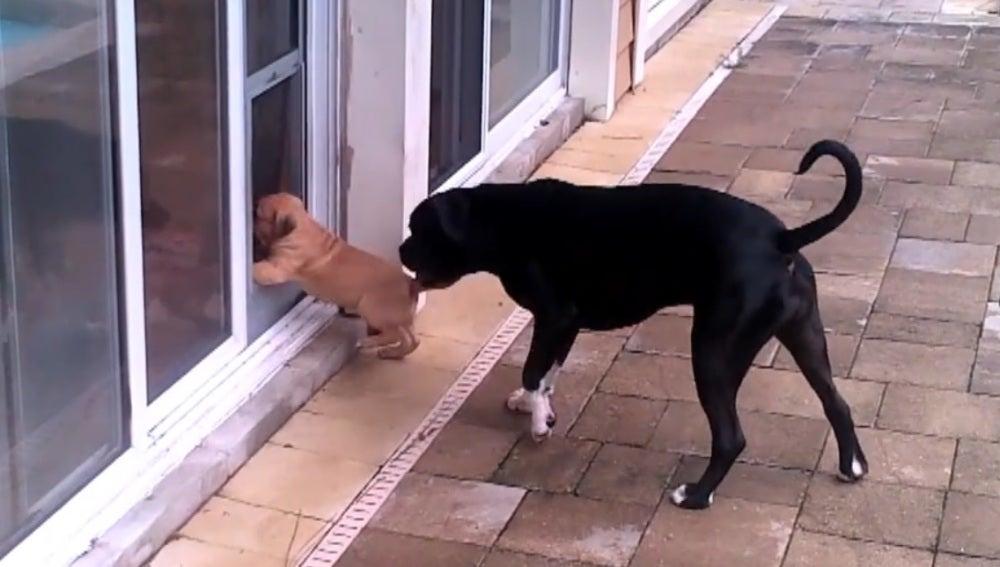 La entrañable técnica de este perro para enseñar a un cachorro a entrar en casa