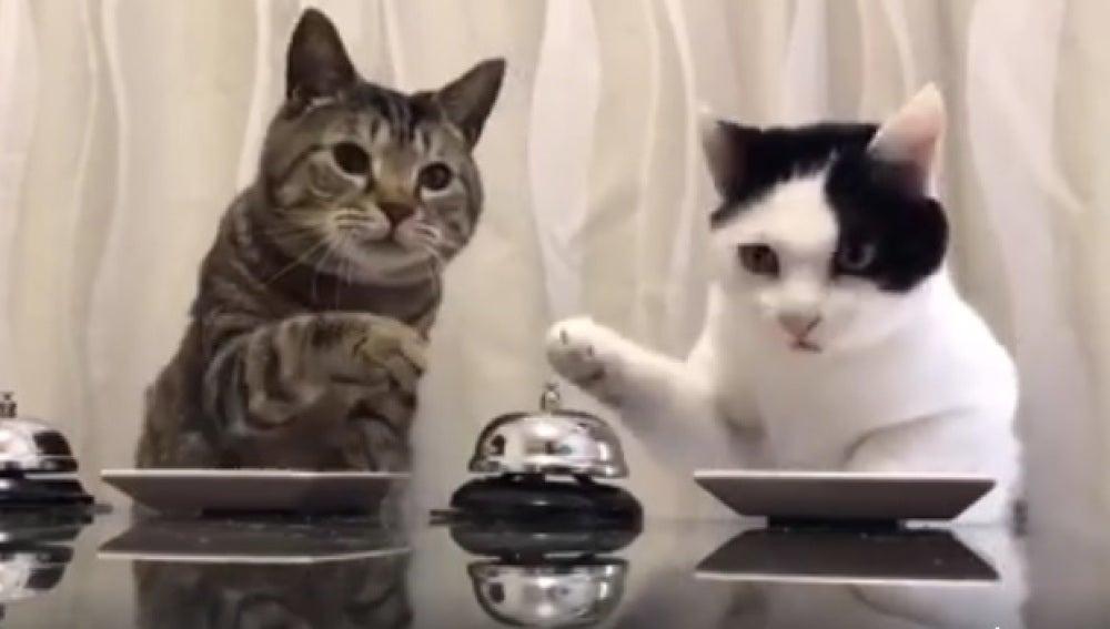 La ingeniosa forma con la que dos gatos piden comida