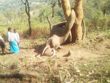 La deforestación humana provoca la muerte de este elefante cuando intentaba buscar comida