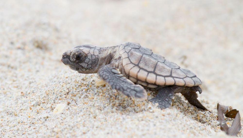 TECNOXPLORA | Nuevo método para conocer el sexo de las tortugas marinas