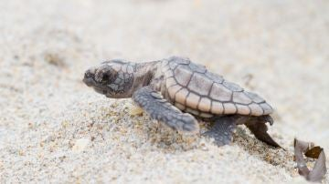 Nuevo metodo para conocer el sexo de las tortugas marinas