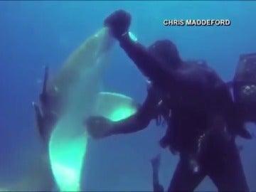 Frame 4.603697 de: Sorprendentes imágenes de un tiburón herido pidiendo ayuda a un buceador