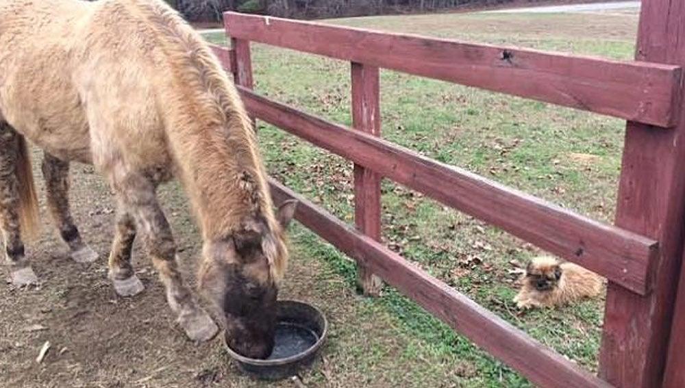 Take Mac, el caballo que bebe cerveza para tratar su enfermedad
