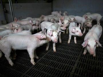 Un grupo de cerdos en una granja
