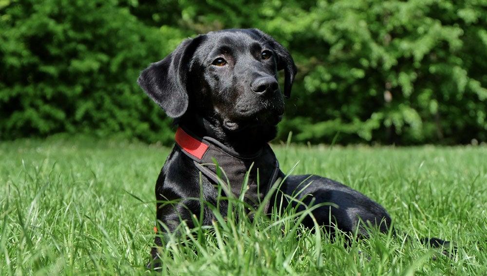 Imagen de archivo de un labrador negro