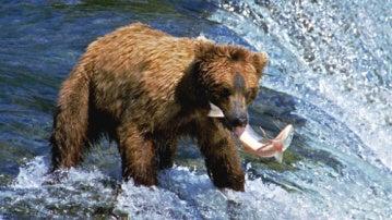 El oso pardo un depredador mas implacable de lo que se creia