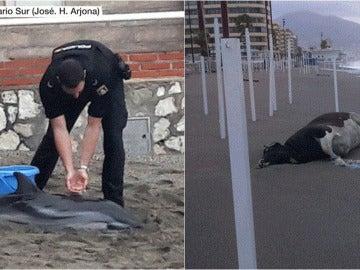 Los cuerpos de una vaca y un delfín varados en la arena: la imagen que deja el peor temporal desde hace 22 años en Málaga