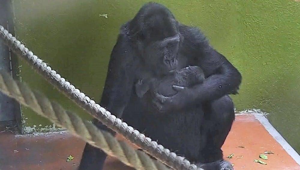 86f0b3e35c77 Nace un gorila en peligro de extinción en un zoo de Reino Unido