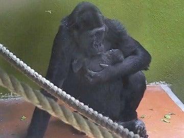 Nace un gorila en peligro de extinción en un zoo de Reino Unido
