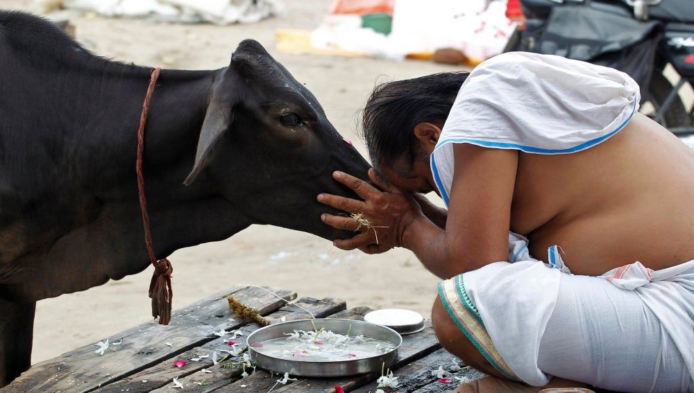 Las vacas son sagradas en la India