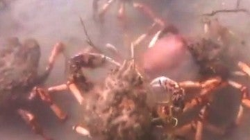 Cangrejos gigantes