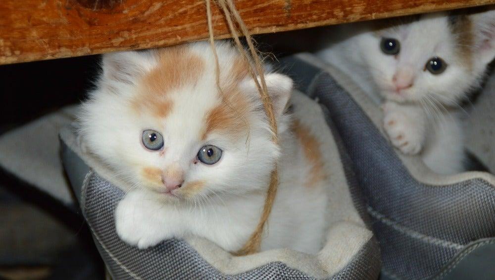 Los gatos que viven en el interior de las casas están más expuestos al aire y al polvo del hogar
