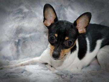 Imagen de archivo de un perro ratonero