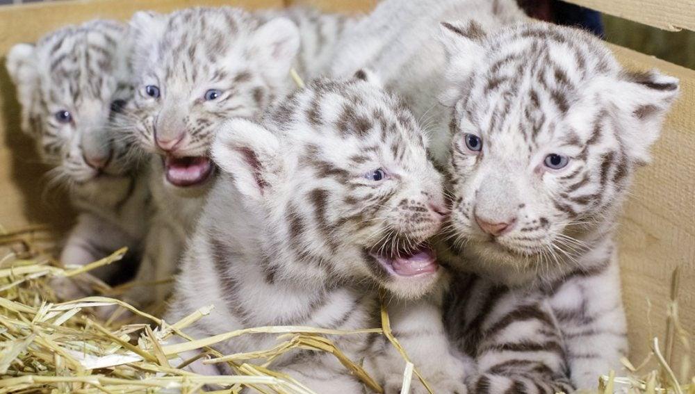 Los cuatro cachorros de tigre blanco