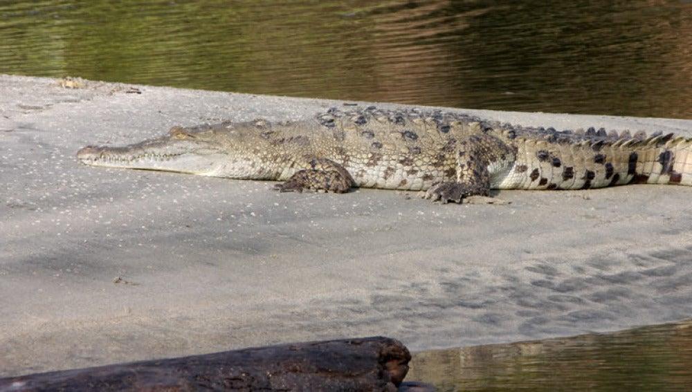 Imagen de archivo de un caimán aguja