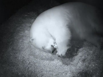 Nacimiento de osos polares