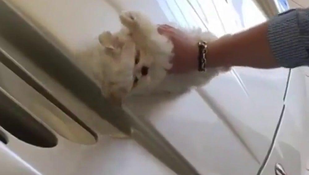 Frame 0.814303 de: Un perrito es usado como bayeta para lavar coche de una joven