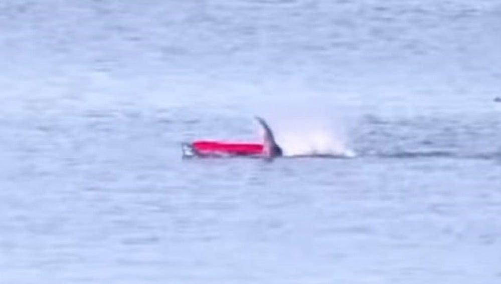 El terrible momento en el que un tiburón blanco ataca a un piragüista en California