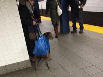 Perro en el metro de Nueva York