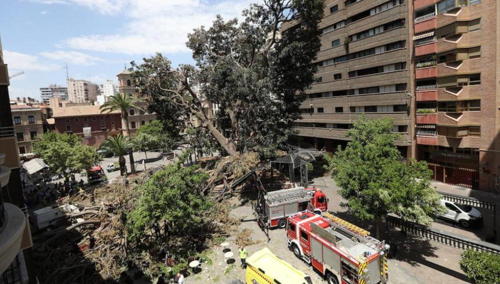 Caída del árbol centenario de Murcia