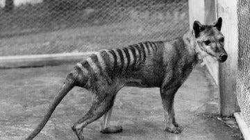 Lobo de Tasmania, extinto en 1936
