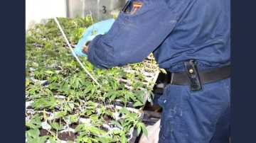 Un agente de la Policía Nacional junto a parte de las plantas de marihuana inacutadas