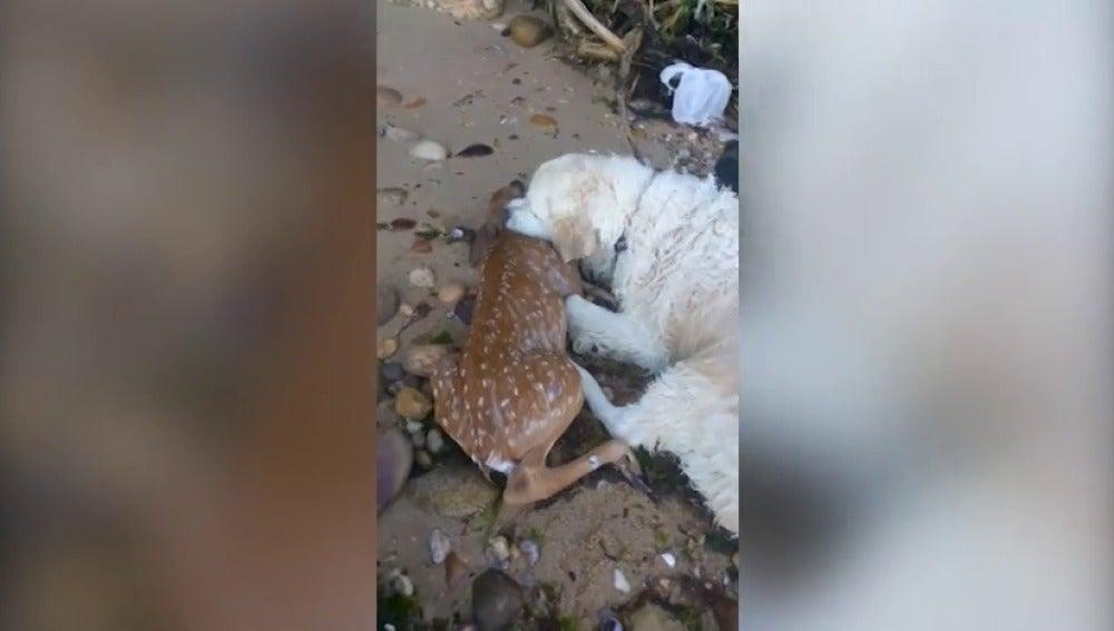 El emocionante momento en el que un perro salva a un cervatillo que se estaba ahogando en el río