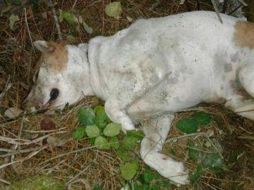 El perro que han encontrado semienterrado tras una brutal paliza