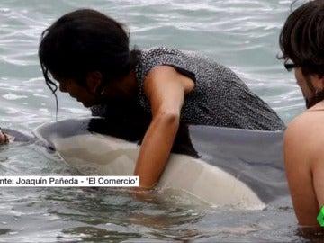 Muere un delfín al quedar varado en una playa de Gijón