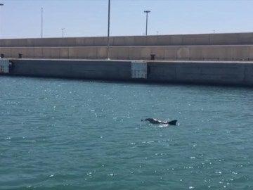 La cría de delfín en el Puerto de Valencia