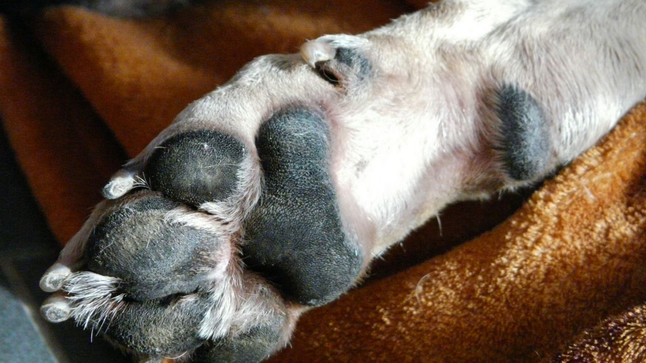 Pata de perro, imagen de archivo