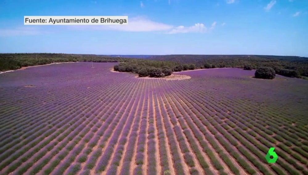 Una postal de campos teñidos de violeta: la lavanda de Guadalajara no tiene nada que envidiar a la Provenza