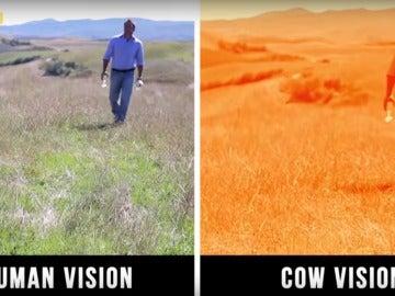 En este caso, la visión del ser humano y la de las vacas