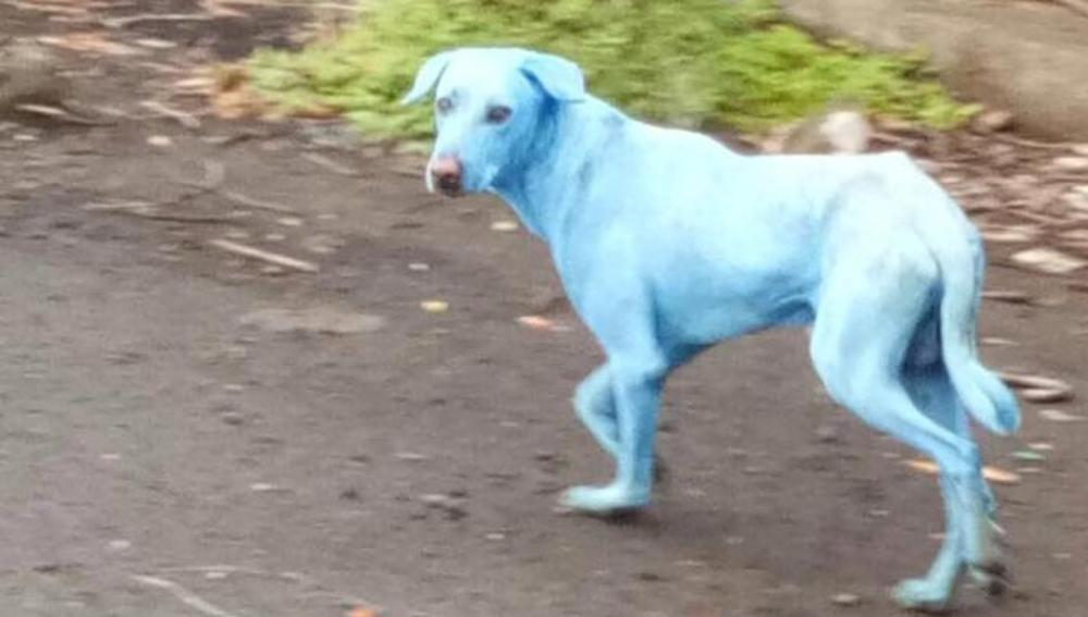 Perro de color azul por la contaminación