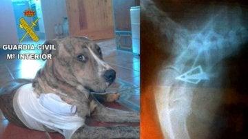 El perro tuvo que ser operado de urgencia debido a la gravedad de la herida