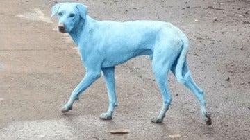 Uno de los perros afectamos por la contaminación