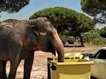 El animal estuvo rebuscando comida entre la basura tras escaparse del circo