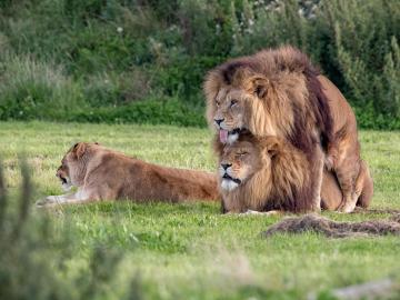 Fotografían a dos leones machos practicando sexo
