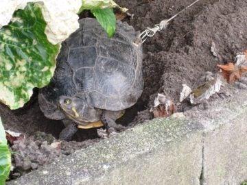 La tortuga, ataca con una cuerda