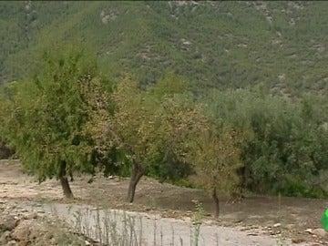 'Xylella fastidiosa', la bacteria que puede acabar con miles de árboles de España
