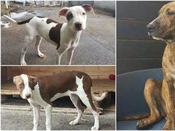 Estos son los tres perros que fueron robados