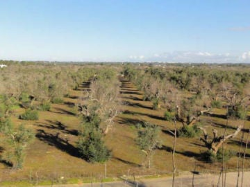 Plantación de olivos afectada por la bacteria Xileya fastidiosa