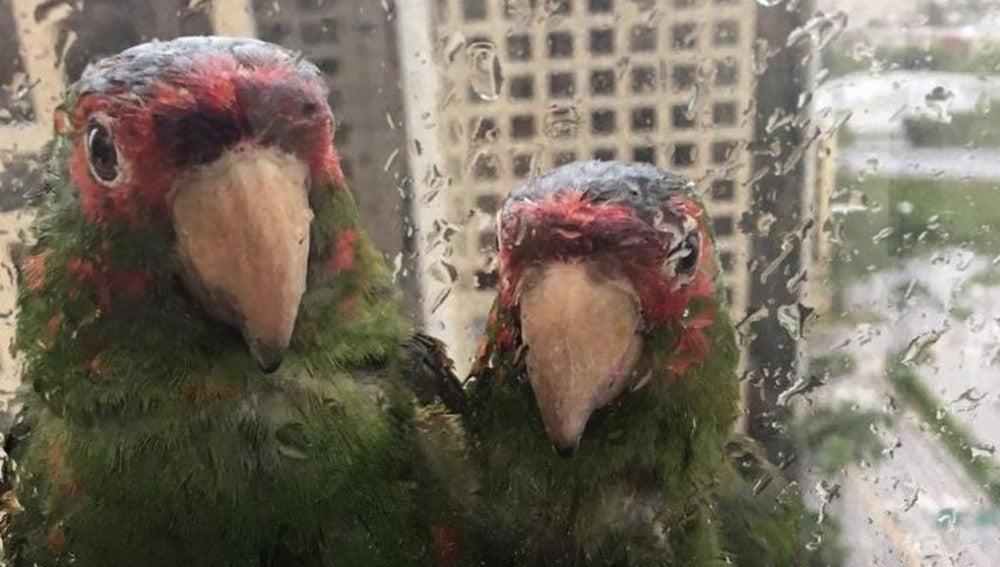 Dos loros piden refugio durante el huracán Irma
