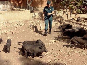 Los 32 cerdos vietnamitas presentaban graves signos de desnutrición