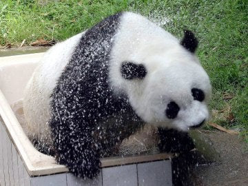 """""""Basi"""", el panda gigante más viejo del mundo"""