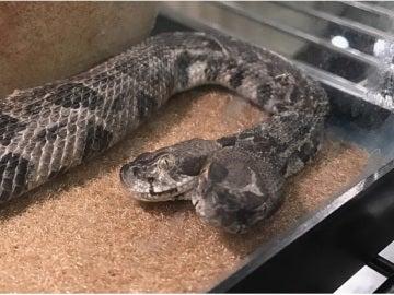 Serpiente de cascabel de dos cabezas encontrada por un electricista