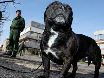 Staffordshire bull terrier, la raza del perro drogado
