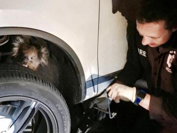 El Koala, atrapado en la rueda