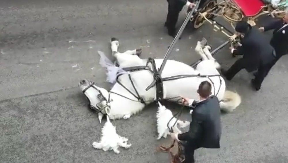 El momento en el que el caballo cae exhausto al suelo